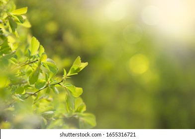 Gentle first spring leaves on a decorative bush in the park in the sun. Selective focus. Space for text. Natural green texture.