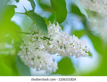 Gentle floral background with branch of white lilac swaying in the wind.