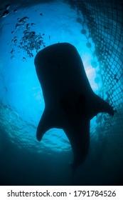 Gentle Giant Whale Shark Swimming underwater in Chiba, Japan