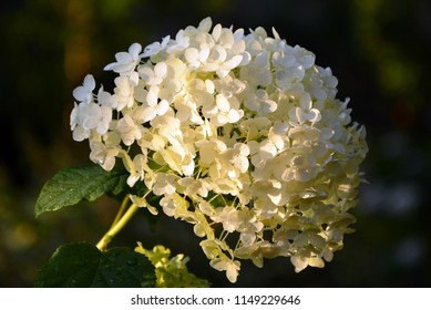 Gentle hydrangea flowers after rain are illuminated by the sun in the garden.