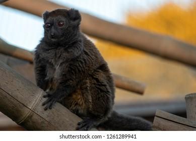 A gentle lemur perches