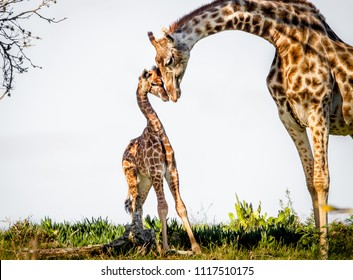 Gentle moment between a mother giraffe and her baby. Game park, South Africa