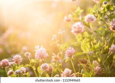 Gentle natural floral background in vintage colors with soft focus. Beautiful summer meadow with flowering clover grass sunset in spring, macro, inspiration nature.