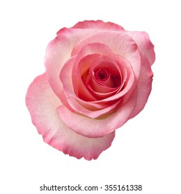 gentle pink rose flower isolated on white background