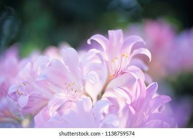 Gentle Resurrection lily.