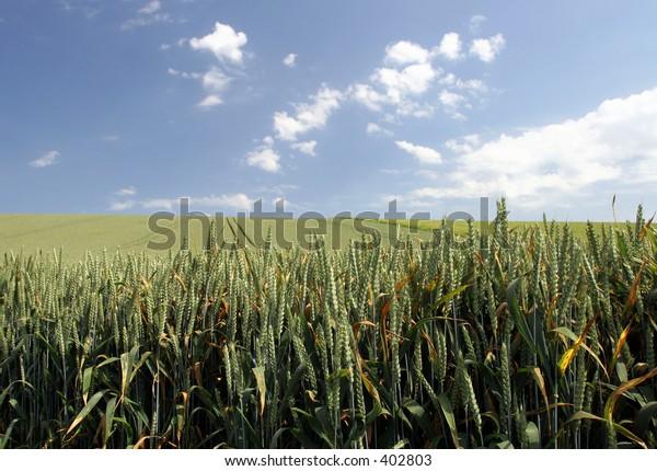 Gentle rolling fields of green wheat near Wantage, Wiltshire
