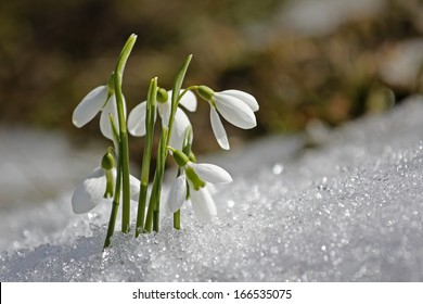 Gentle snowdrops flowering from the snow, first sign of spring