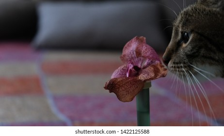 Gentle tomcat smelling a wilted pink orchid