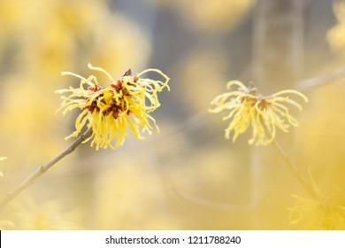 Gentle Witch hazel Flower