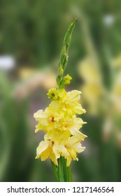 A gentle yellow gladiolus wakes up in the morning after a sweet dream. gladiolus on an isolated green background.