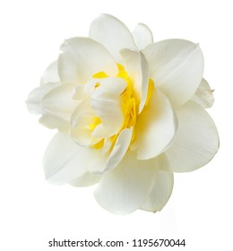 Gentle yellow narcissus flower isolated on white background.