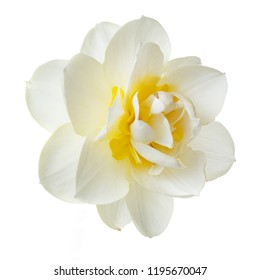 Yellow flower isolated images stock photos vectors shutterstock gentle yellow narcissus flower isolated on white background mightylinksfo