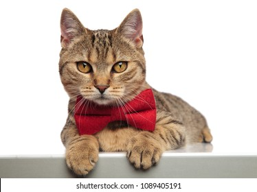 Gentleman British Fold Cat Lying On White Bakground With Paws Hanging Wearing A Red Bowtie