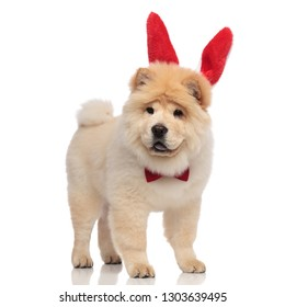 gentleman chow chow wearing red easter bunny ears pants and looks to side while standing on white background