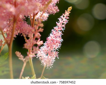 gently astilbe japonica flower