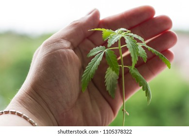 gently hug young hemp plant. cannabis cultivation in human conditions.