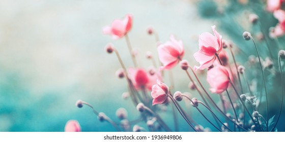 Gently pink flowers of anemones outdoors in summer spring close-up on turquoise background with soft selective focus. Delicate dreamy image of beauty of nature.