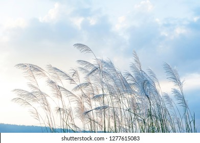 Gently wild reed flowers in winter morning. Reed flowers blowing in the wind on beautiful clouds, a range of mountains backdrop.