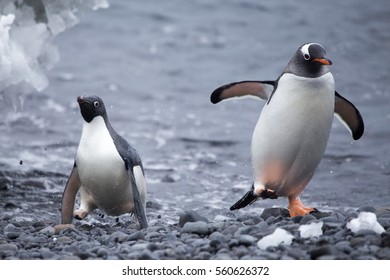 A gentoo and Adelie penguin race onto the beach.