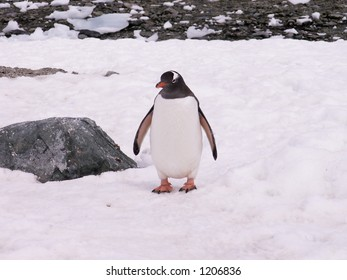Gentoo Penguin alone in the snow