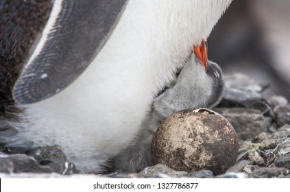 Gentoo penguin chick with its mother and sibling coming out of an egg