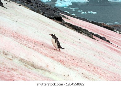 Gentoo Penguin climbing up snow covered hill with patches of red algae, Cuverville Island, Antarctica
