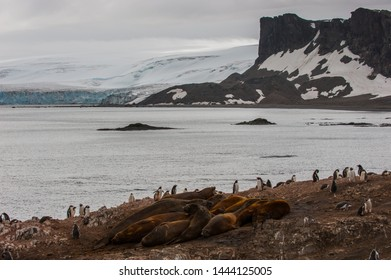 Gentoo penguin colony and southern elephant seal colony in antarctica