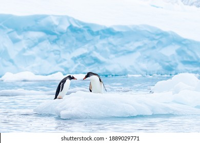 A gentoo penguin couple has a tender moment on a small berg