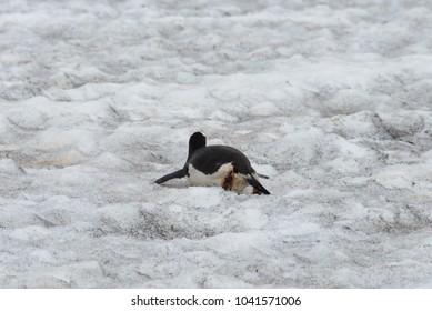 Gentoo penguin creeping