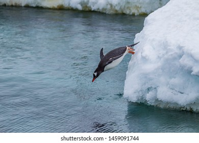 Gentoo penguin dives into the cold Antarctic waters