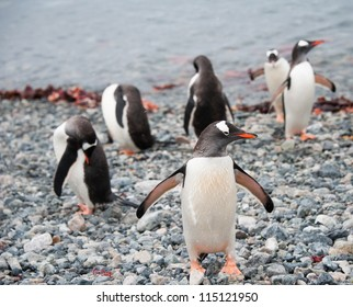 Gentoo penguin just after the swimming