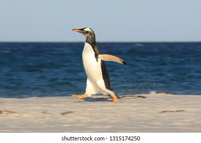 A Gentoo Penguin kicks up sand as it runs across the beach.