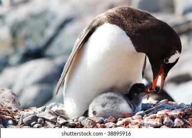 A Gentoo Penguin mother is feeding regurgitated meal to her newborn chick at a penguin colony at Gonzalez Videla Antarctic Base, Paradise Bay, Antarctic.