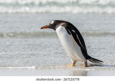 Gentoo penguin in the ocean portrait
