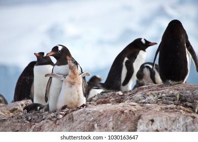gentoo penguin parent and cute baby chick, antarctic peninsula, antarctica