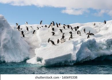 Gentoo Penguin playtime at your local iceberg, Antarctica