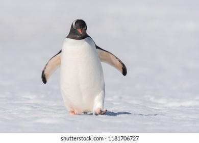 Gentoo Penguin (Pygoscelis papua) - Cold Feet
