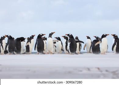Gentoo Penguin (Pygoscelis papua) colony in the sand. Falkland Islands.