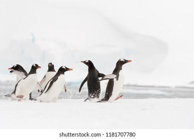 Gentoo Penguin (Pygoscelis papua) - Come on Lets Go