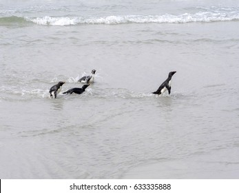 Gentoo penguin, Pygoscelis papua, comes from the sea, Island Sounders, Falkland Islands / Malvinas