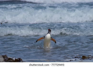 Gentoo Penguin (Pygoscelis papua) coming ashore at The Neck on Saunders Island in the Falkland Islands.