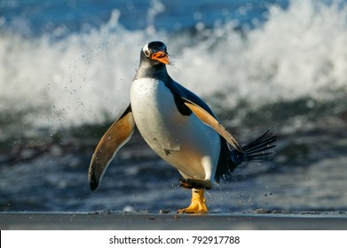 Gentoo Penguin (Pygoscelis papua) jumping in the surf