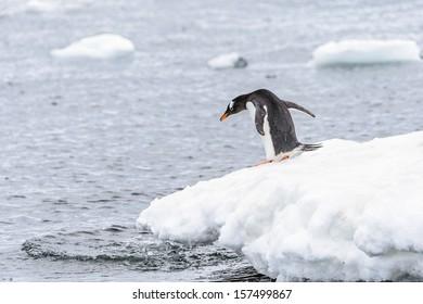 Gentoo penguin (Pygoscelis papua) on the edge of iceberg