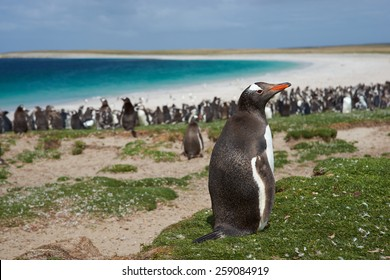 Gentoo Penguin (Pygoscelis papua) on Bleaker Island in the Falkland Islands. Thousands of Gentoo Penguins and Magellanic Penguins (Spheniscus magellanicus) crowd the beach in the background.