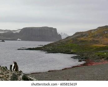 gentoo penguin (Pygoscelis papua) on Aitcho Island
