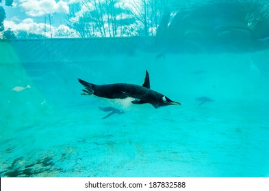 Gentoo Penguin (Pygoscelis papua), swimming underwater in large aquatic tank with blue background and sunlight casting shadows.  Reflections of clouds on the glass in the background
