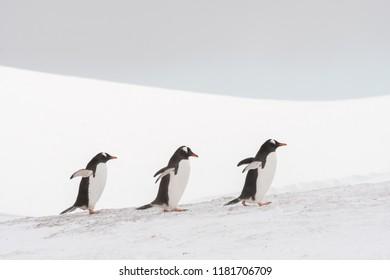 Gentoo Penguin (Pygoscelis papua) - Three In Line