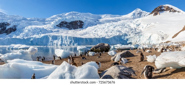 Gentoo penguin relaxing on the beach among scattered icebergs and blue glacier in the background at Neco bay, Antarctic