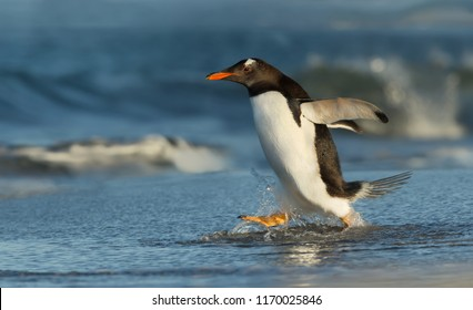 Gentoo penguin running to the ocean, Falkland islands