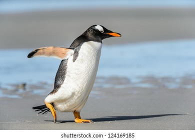 Gentoo penguin runs over the coast.  Falkland Islands, South Atlantic Ocean, British Overseas Territory